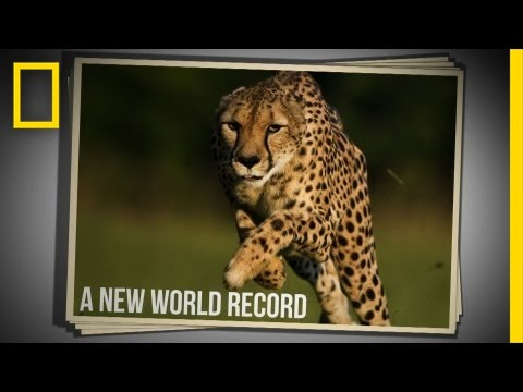 Cincinnati Zoo Cheetah Sets New World Speed Record in 100 Meter Run | National Geographic
