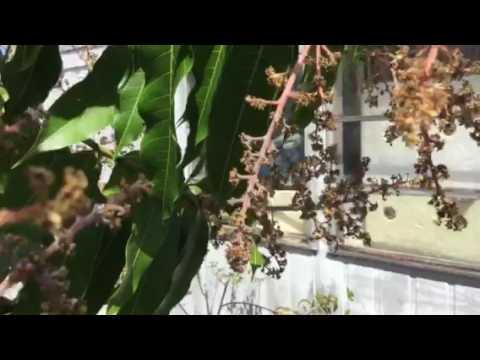 Mango flower fungus