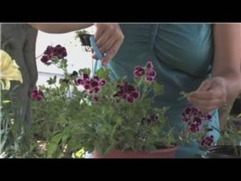 Geraniums : How to Cut Back Geraniums