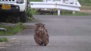 Eagle Owl training bubobubo