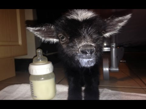 Raising a Newborn Goat