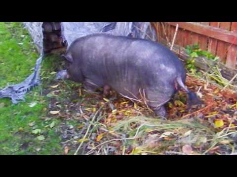 Pot-bellied pig building nest 3 day before snow, winter is coming.