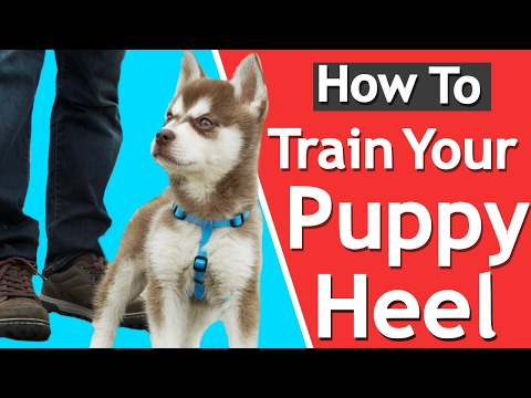 How To Teach your Puppy to Heel