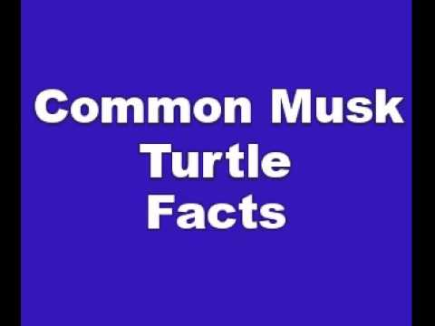 Common Musk Turtle Facts - Facts About Common Musk Turtles