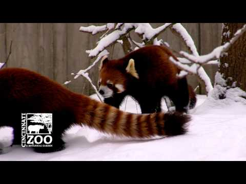 Why a Red Panda would not make a good pet - Cincinnati Zoo