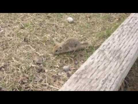 Squirrel baby squirrels/gophers running around in the field so cute the way they live little animals
