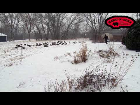 2018 The Goose Whisperer - Canadian Honkers Flocking In Droves