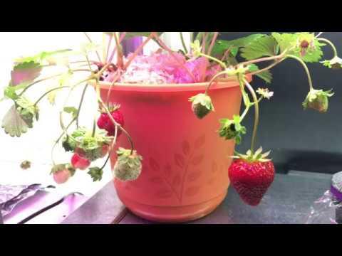 Growing strawberries 🍓 under lights