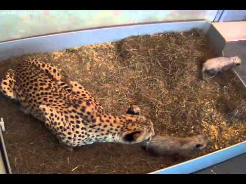 Cheetah Cub Explores Beyond Its Nest Box
