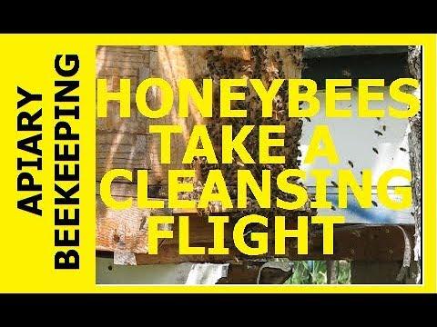 HOMESTEAD BEEKEEPING - A Honeybee Cleansing Flight