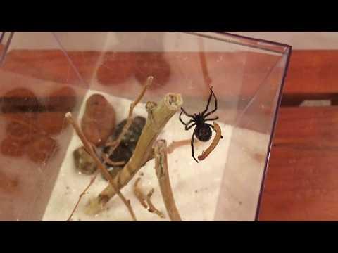 Pet Black Widow (L. hesperus)