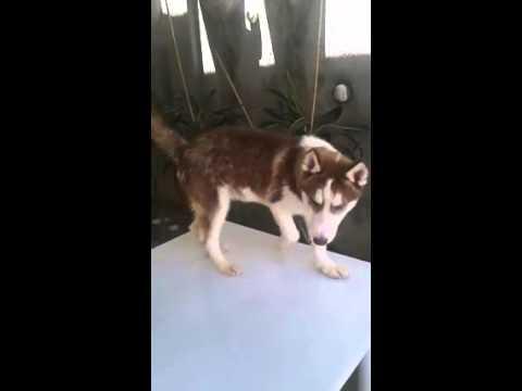 Pure breed Male Siberian Husky for sale
