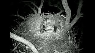 Big Bear Eagle Cam ~ Bernie The Flying Squirrel Visits Stormy Again 5.14.18