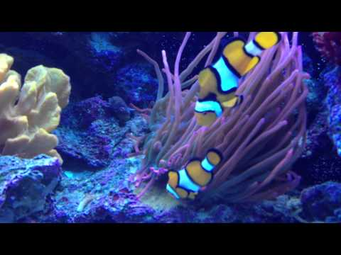RSM 650 - Clownfish laying eggs