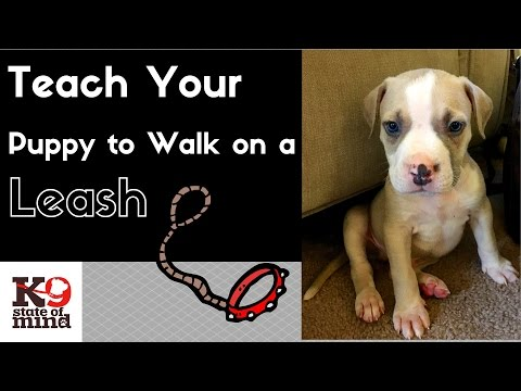 How to Teach a Puppy to Walk on A Leash | Dog Training Tips and Tricks