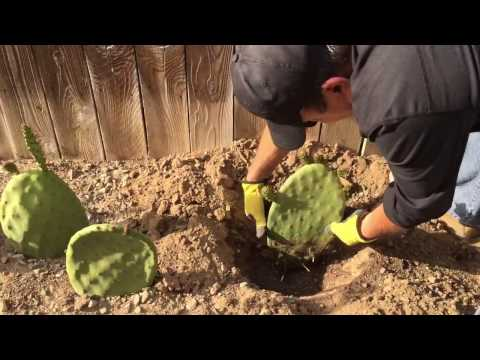 One month update of planting opuntia cactus pads aka nopal or prickly pear cactus.