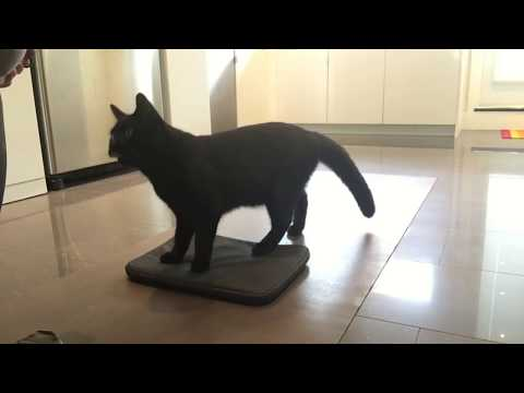 Cat Tricks: Clicker train your cat to go to their bed, or a mat.