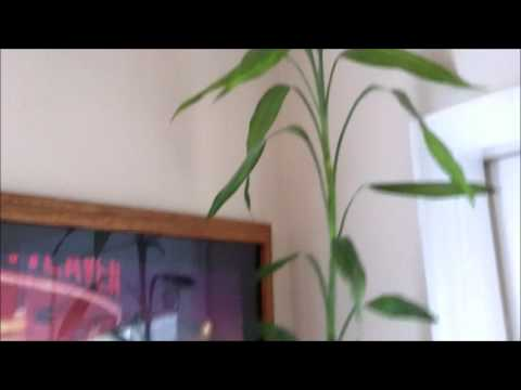 Lucky Bamboo: Growing Big