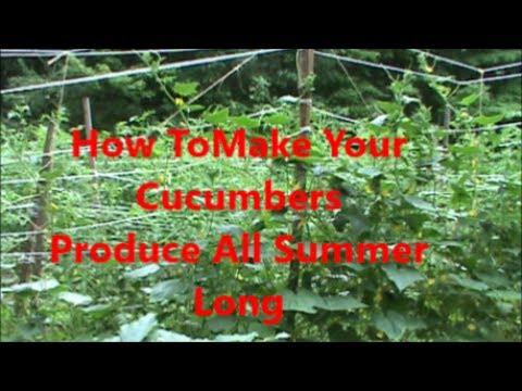 How To Make Your Cucumbers Produce All Summer Long