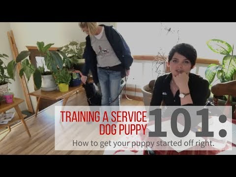 How to train your service dog puppy.