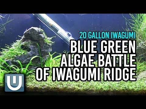 Blue Green Algae Battle of Iwagumi Ridge