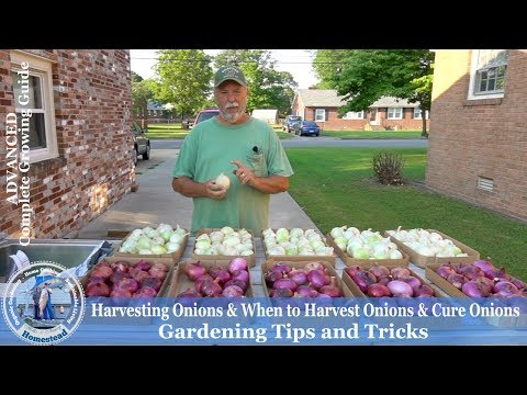 How to Cure Sweet Onions for Long Term Storage