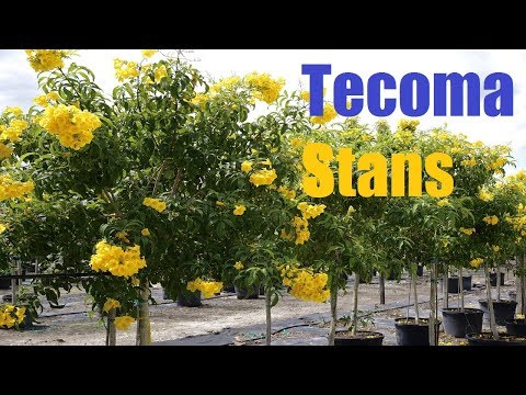 Plants Profile for Tecoma stans (Yellow bells) [ সোনাপাতি ] - - Useful Tropical Plants