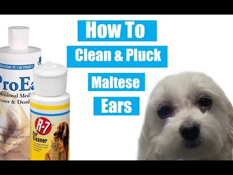 How To Clean & Pluck Maltese Ears
