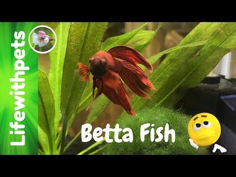 Betta Fish Deaths
