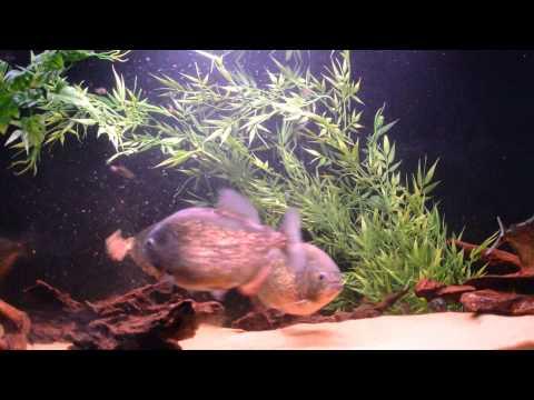 Piranhas eat turkey gizzard