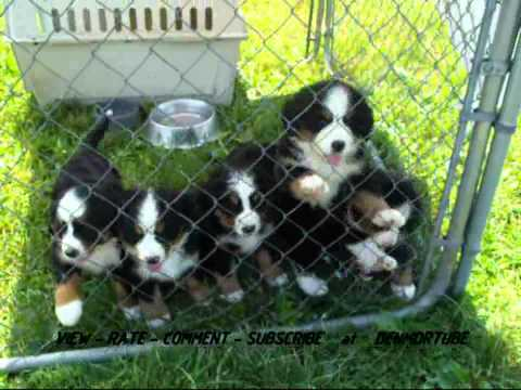 Cute Bernese Mountain Dog Puppies