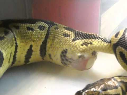Pastel ball python laying eggs!