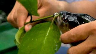 Fishing For Flesh Eating Piranha In Brazil