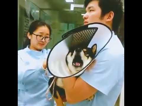 Dog screaming at vet Shiba inu