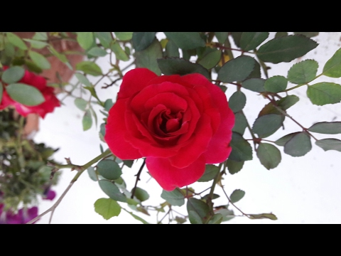 Treatment of Powdry Mildew  in Rose Plant||25 March,2017