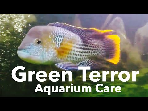Green Terror Cichlid Care Guide - Size & Growth