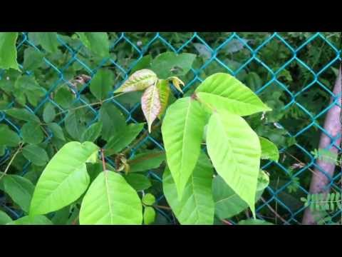 Poison Ivy Identification Tips