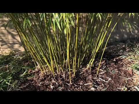 How to Trim Clumping Bamboo (Fargesia Robusta & Scabrida)