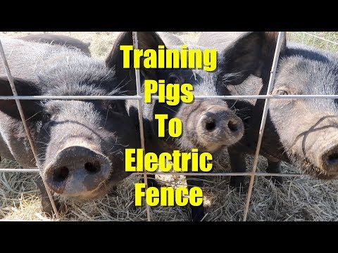 (re) Training Pigs to Electric Fence