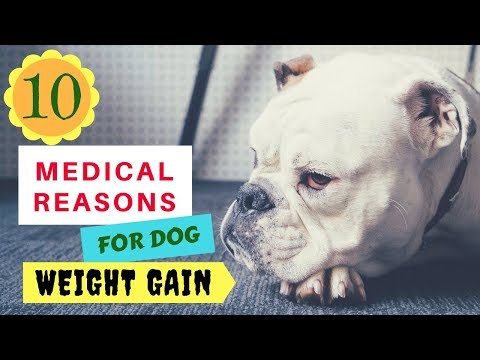 10 Medical Reasons for Dog Weight Gain