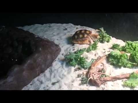 Feeding Time for Baby Gopher Tortoises