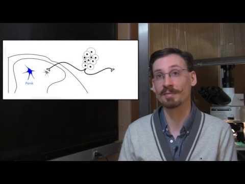 How Endogenous Opioids Control Pain Sensitivity