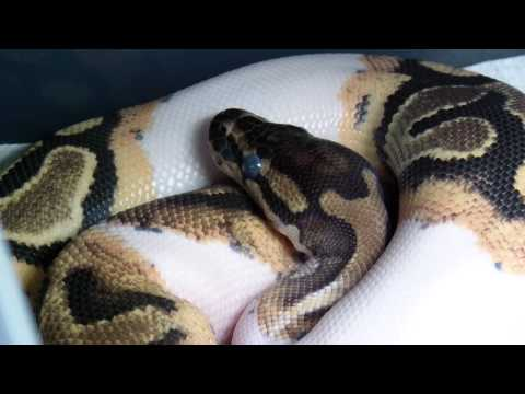 Routine care and cleaning of your Ball Python