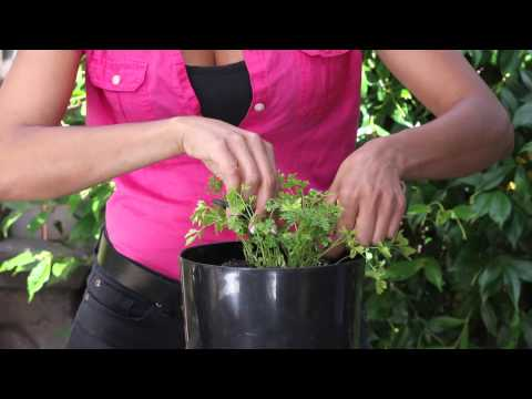 How to Trim Parsley : The Chef's Garden