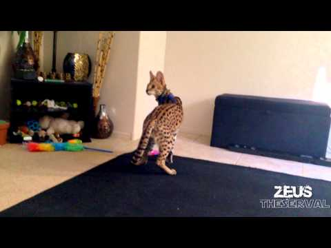 Serval Cat Plays Fetch