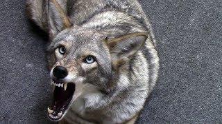 Download Coyote named Scooter - 113 - preventive medicine Video