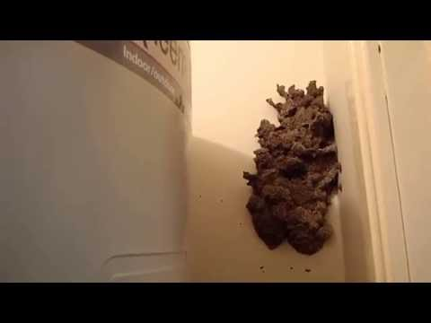 Large Termite mudpack nest inside home