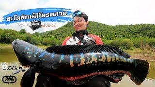 Giant snakehead fish ชะโดใหญ่ที่สุดในชีวิต  สีสวยมากๆ