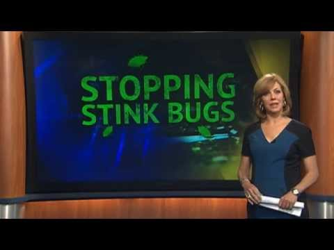 Stink Bugs Return!  How to Get Rid of Them?