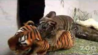 Funny Baby Tiger!!!